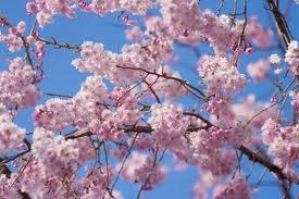 沖縄県の桜の名所と家庭教師.jpg